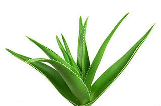 close-up of green aloe vera plant leaf