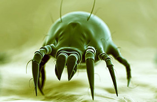 miscroscopic view of a dust mite