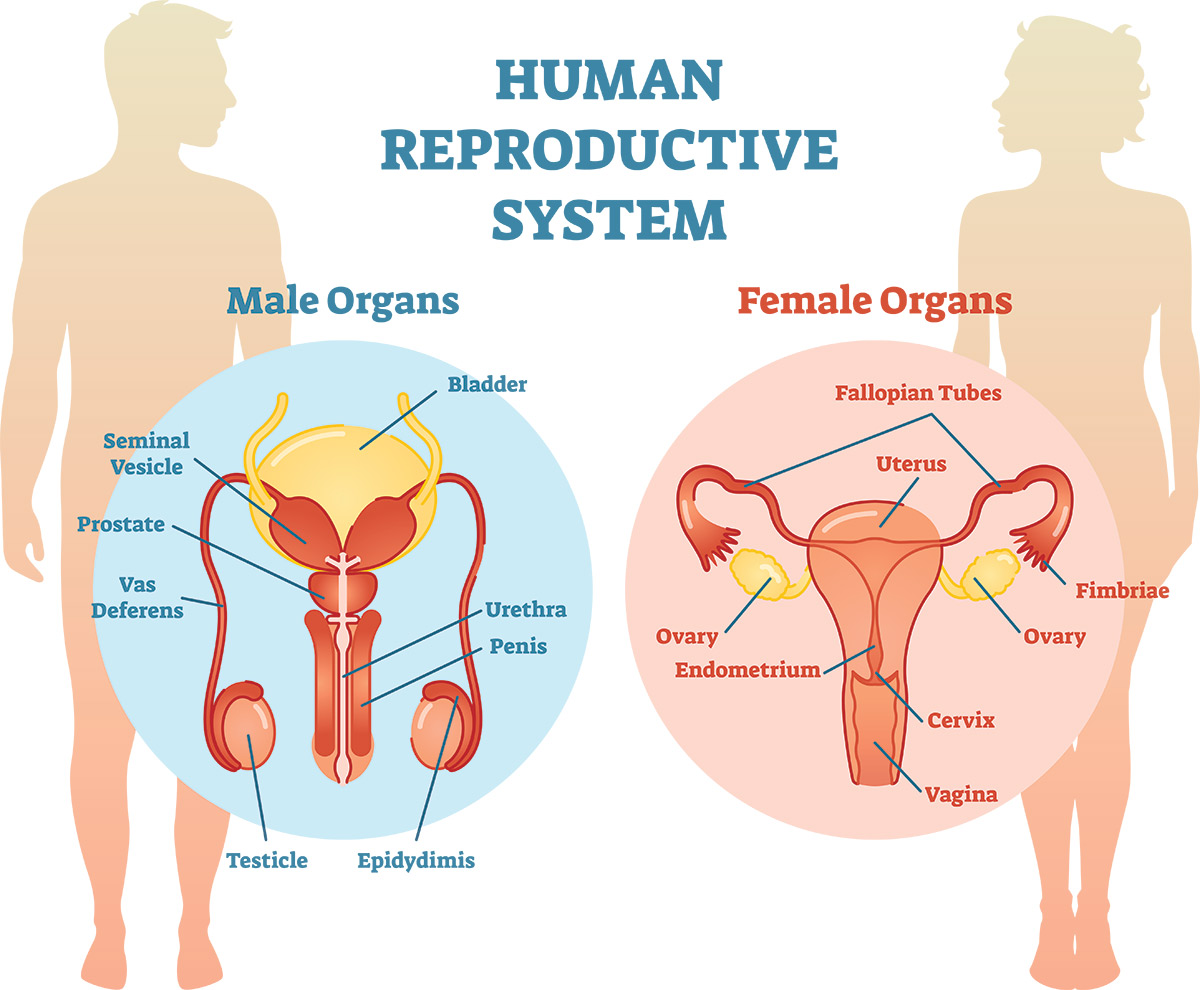 Human Reproductive System / Male and Female Organs