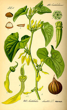 Image of aristolochia Clematiris rendering