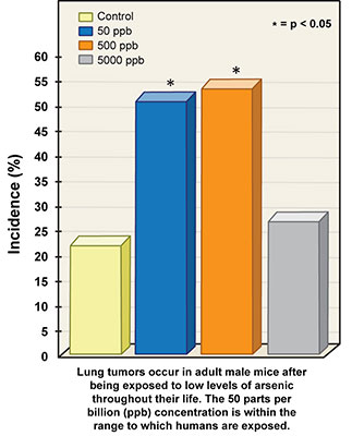 Lung tumors occur in adult mice after being exposed to low levels of arsenic throughout their life. The 50 parts per billion (ppb) concentration is within the range to which humans are exposed