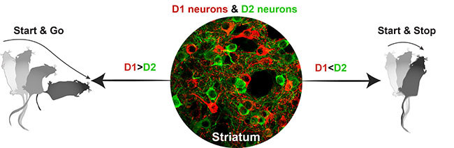 Striatrum D1 and D2 neurons controlling start and go and start and stop movement