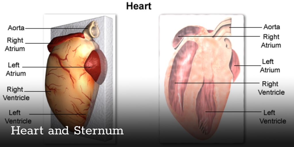 Heart And Sternum