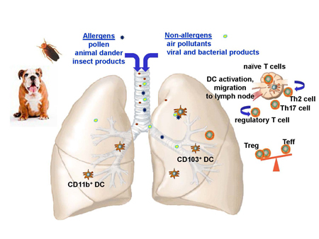 graphic image of allergens and non-allergens through the airways
