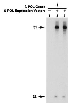 DefaulIn vitro BER Assay with Extracts form Pol Beta Null Cells