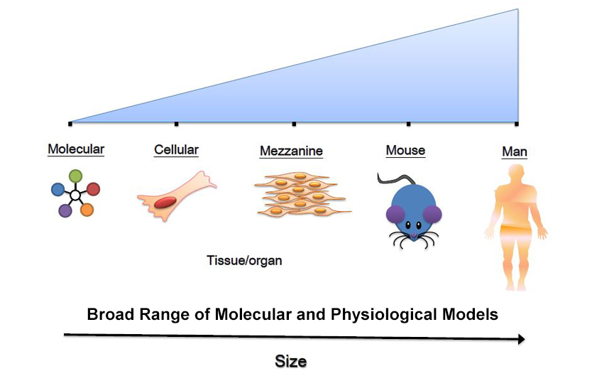 Diagram comparing size of a molecule, cell, tissue, mouse and human man