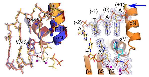 Structural characterization of human DNA Polymerase