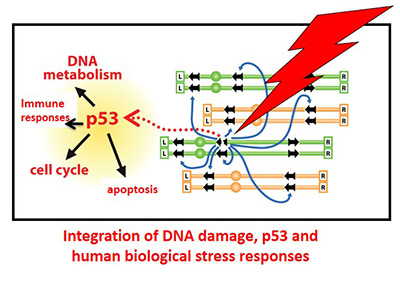 Integration of DNA damage, p53 and human biological stress responses