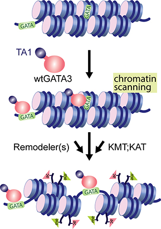 GATA3 interaction with chromatin