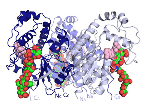 Crystal structure of the trimer of 2-O-sulfotransferase (each monomer a different shade of blue) with bound HS (green) and the cofactor product of the reaction PAP (pink).