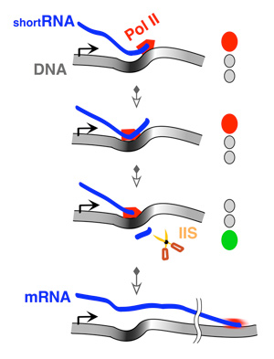 The kinky path: RNA polymerase II goes backwards during gene transcription.