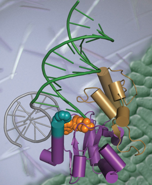 Figure1: The Genome Stability Structural Biology Group links insights into the fundamental principles of molecular recognition and processing of DNA damage to cellular function through combined structure-based functional studies. The DNA repair enzyme Aptx (Purple and gold) is displayed processing a 5′ -adenylated DNA strand break (green/grey DNA with orange 5′ -adenylated DNA lesion), and is overlaid upon protein crystals and Schizosaccharomyces pombe cells (green).