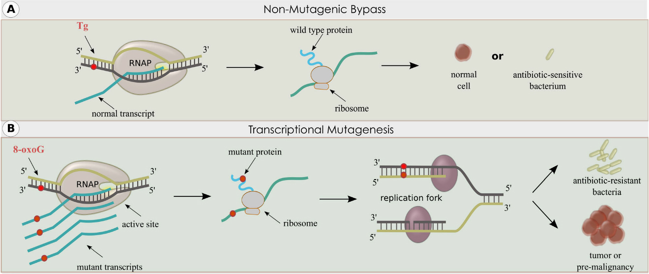 Non-mutagenic Bypass and Transcriptional Mutagenesis