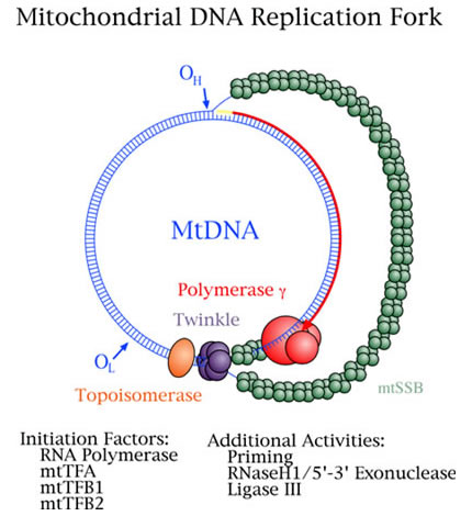mitochondrial dna replication group