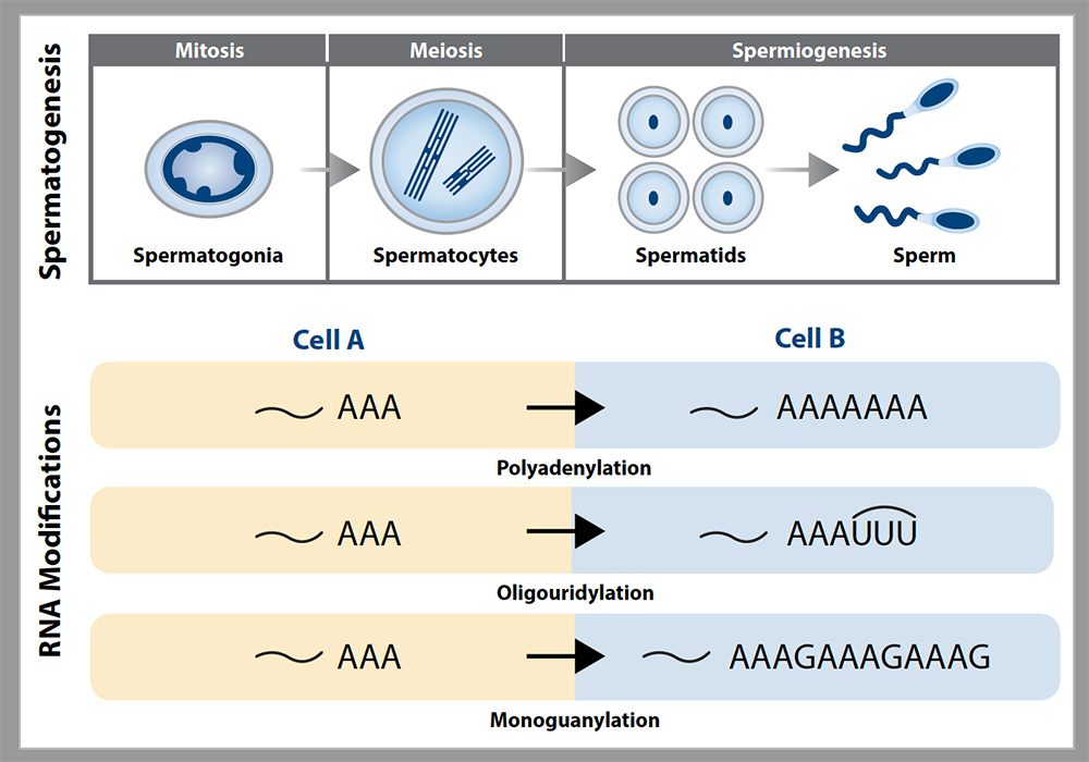 Spermatogenesis and RNA modifications