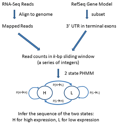 Workflow diagram for PHMM 3'UTR shortening