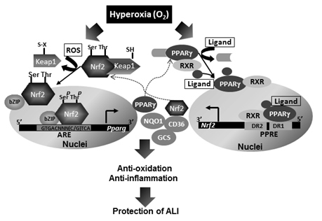 Suggested mechanisms for Nrf2-mediated protection of ALI through induction of PPARγ