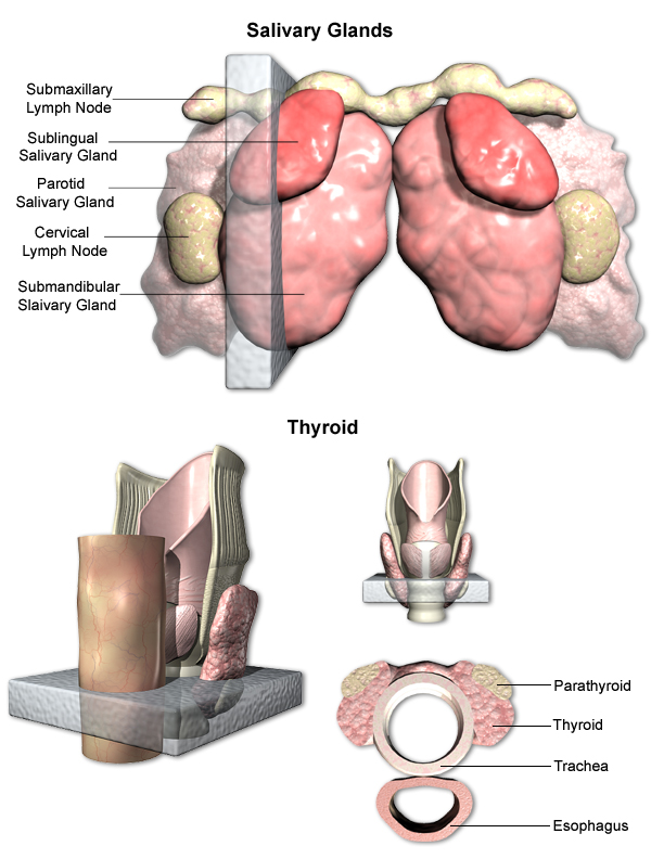 Trachea, Salivary Glands, and Thyroid Trimming Examples