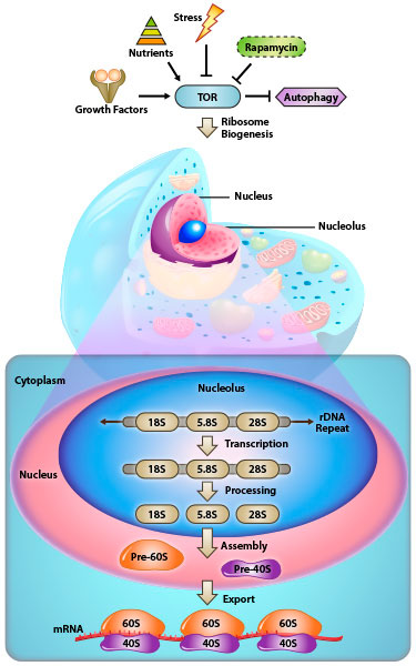 view of the cell with  the focus on the nucleolus and ribosomes being made within the nucleolus and exported out into the cytoplasm. Arrows pointing in and out of the nucleolus depicting the major cell signaling pathways.
