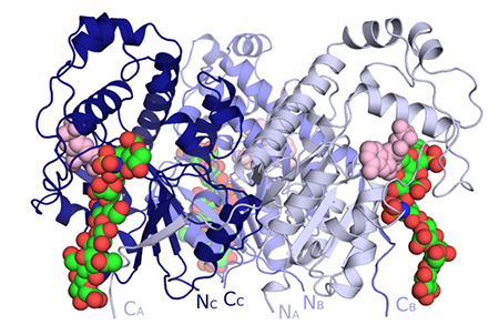 Crystal structure of the trimer of 2-O-sulfotransferase