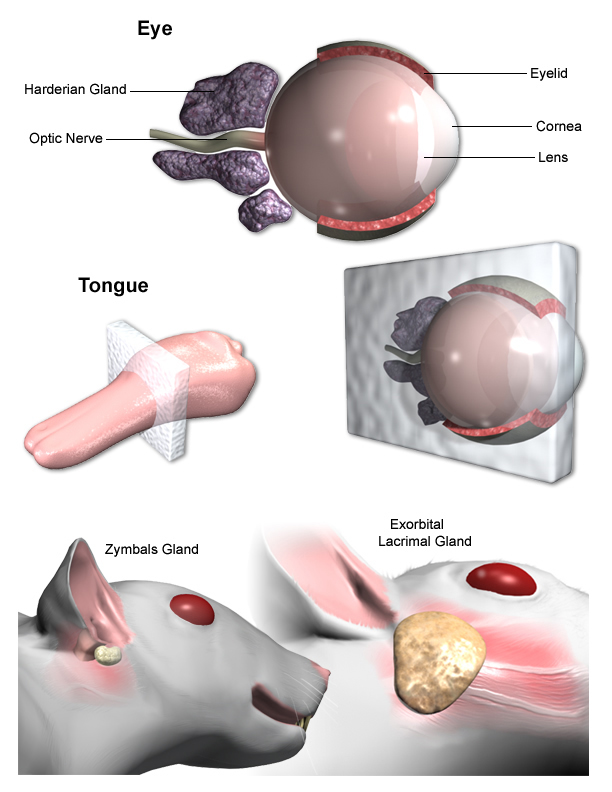 Tongue, Eye and Zymbal\'s