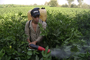 Egyptian field worker walks through a cotton field, using a backpack sprayer to apply pesticides