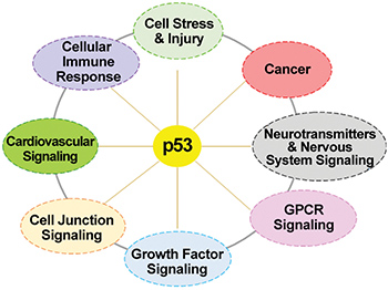 The p53 universe: signaling pathways of the potential new p53 cistrome target genes.