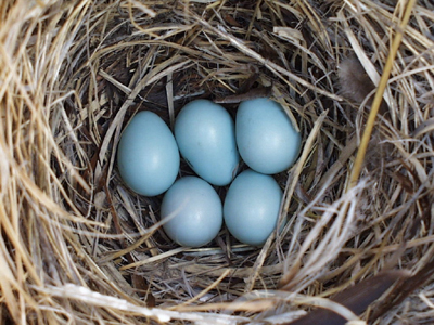 Five light blue eggs in a nest