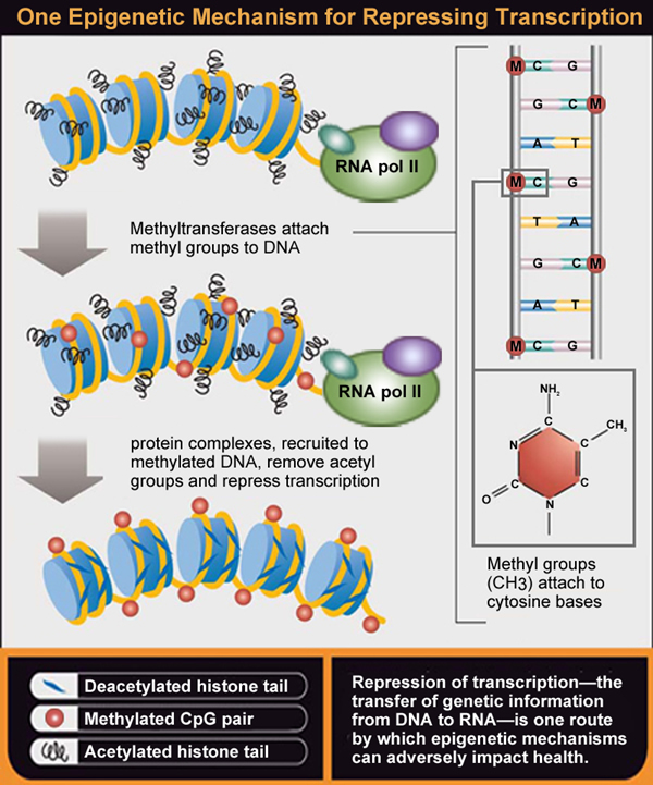 Diagram - One Epigenetic Mechanism for Repressing Transcription. Shows for transfer of genetic information from DNA to RNA can adversely impact health.
