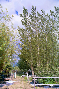 Image of phytoremediation using hybrid poplars
