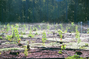 Small trees being watered at the savannah river site
