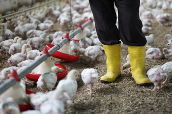 farmworker walking among chicks