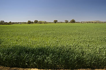 photo of a field of corn