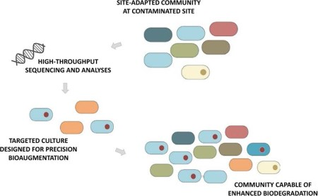 Site-adapted community at contaminated site, high-throughput sequencing and analyses, targeted culture designed for precision bioaugmentation, and community capable of enhanced biodegradation