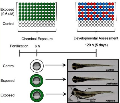 Control zebrafish, exposed and unaffected zebrafish, exposed and affected zebrafish