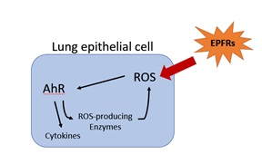 Simplified proposed mechanism from the LSU SRP Center of AhR activation by EPFRs. EPFRs can produce reactive oxygen species (ROS), which can lead to DNA damage or other damage to cells. Adapted with author's permission from Harmon et al., 2018.