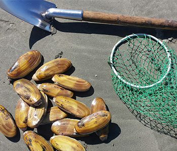 A shovel and neat sitting next to a pile of freshly harvest clams
